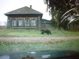 Медведь в Яснуре.